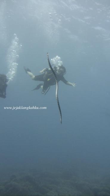 sea snake diving Gili Lombok