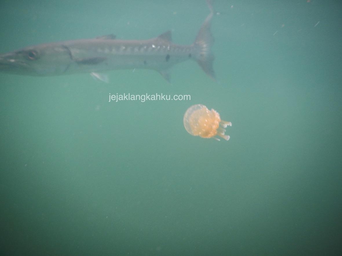 Penampakan Ikan Barakuda di Danau Ubur-Ubur Misool Raja Ampat, Minta di Foto Jugakah ?